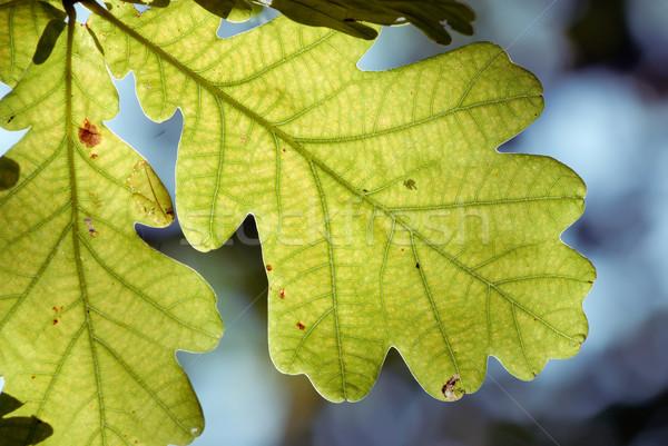 Eiken blad abstract licht bladeren vers Stockfoto © mahout