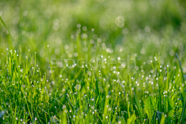 Morning dew on green grass Stock photo © mahout
