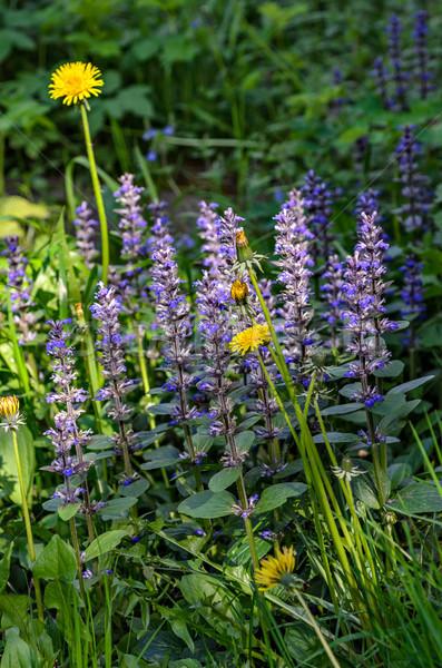 луговой цветы весны свет области Сток-фото © mahout