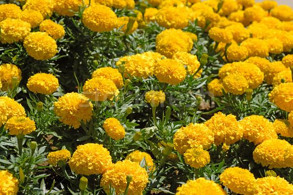 Marigold flower field Stock photo © mahout