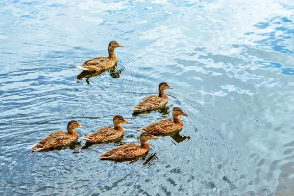 Yüzme gölet grup kahverengi doğa kuş Stok fotoğraf © mahout
