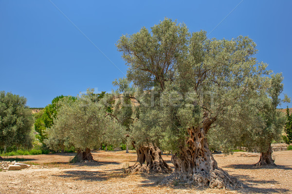 Velho oliva árvores paisagem madeira jardim Foto stock © mahout