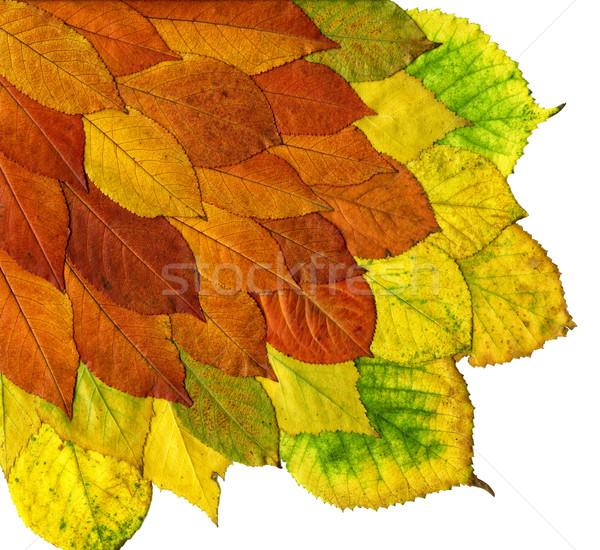 Hojas de otoño aislado blanco árbol resumen hoja Foto stock © mahout