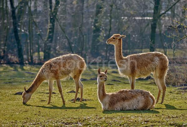 Three lamas on pasture Stock photo © mahout