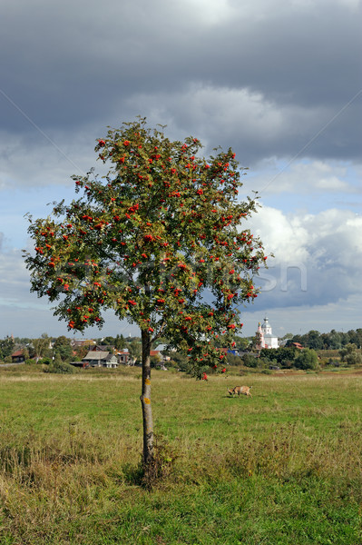 Stock photo: Mountain ash tree on meadow and Russian town Suzdal on horizon