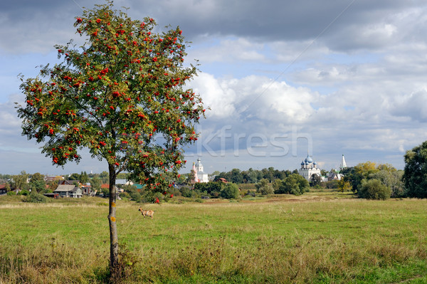 Mountain ash tree on meadow and Russian town Suzdal on horizon Stock photo © mahout