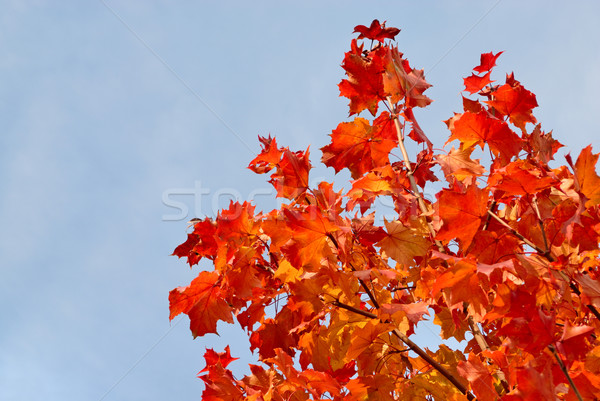 Tree in autumn colors Stock photo © mahout