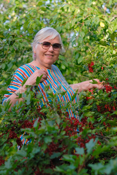 Elderly woman in bushes of a red currant Stock photo © mahout