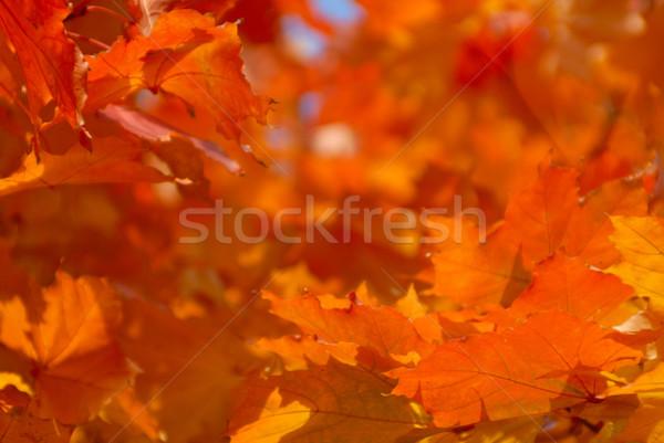 Fa ősz színek égbolt textúra erdő Stock fotó © mahout