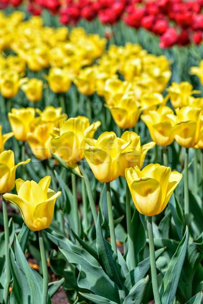 Voorjaar veld Geel Rood tulpen bloemen Stockfoto © mahout