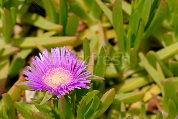 Lila hojas verdes flor textura primavera Foto stock © mahout