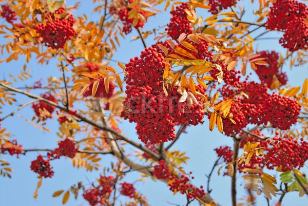 Dağ kül kırmızı ağaç ahşap orman Stok fotoğraf © mahout