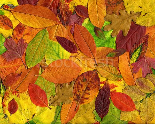 Hojas de otoño colorido textura resumen naturaleza hoja Foto stock © mahout