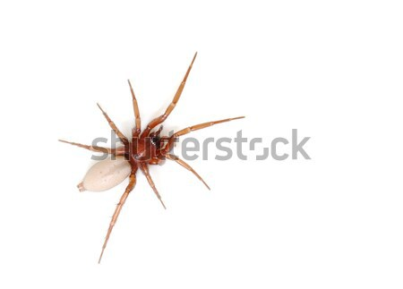 Spider isolated on white background Stock photo © mahout