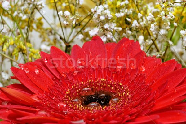 красный цветок падение роса лист красоту Сток-фото © mahout