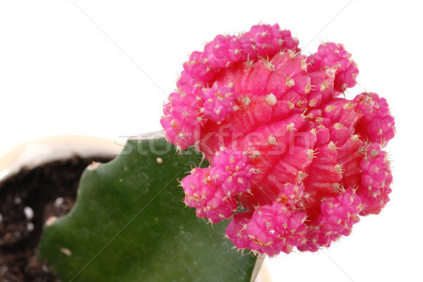 Pink flower of cactus isolated on white Stock photo © mahout