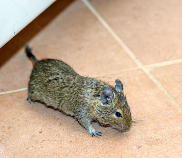 Casa mouse corrida piso caminhada interior Foto stock © mahout