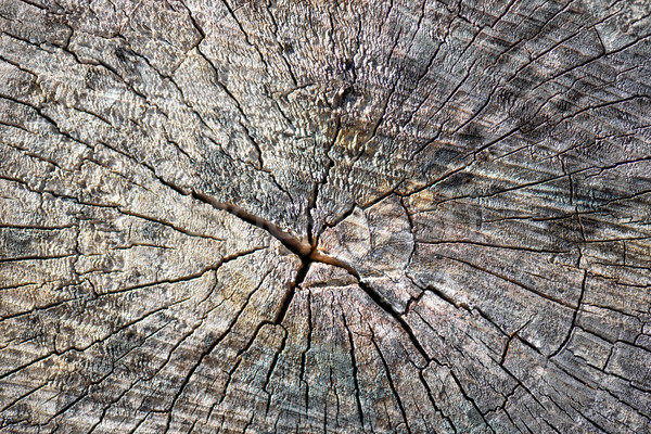 Old tree stump surface with cracks Stock photo © mahout