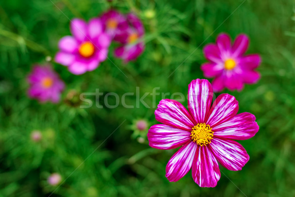 Cosmos flower Stock photo © mahout