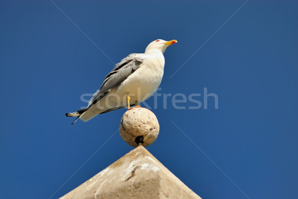 Seagull Stock photo © mahout