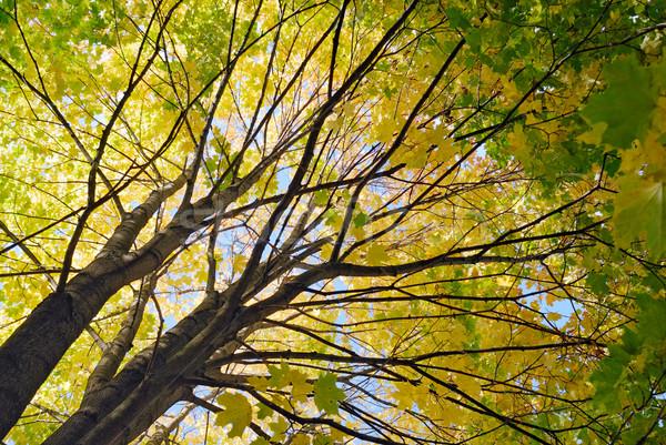 Esdoorn boom najaar kleur natuur licht Stockfoto © mahout
