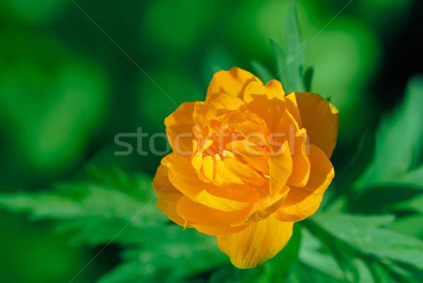 Naranja flores primavera naturaleza fondo verde Foto stock © mahout