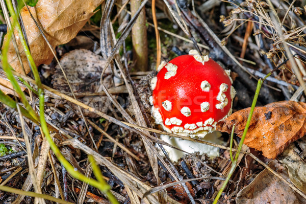 Small fly agaric mushroom Stock photo © mahout