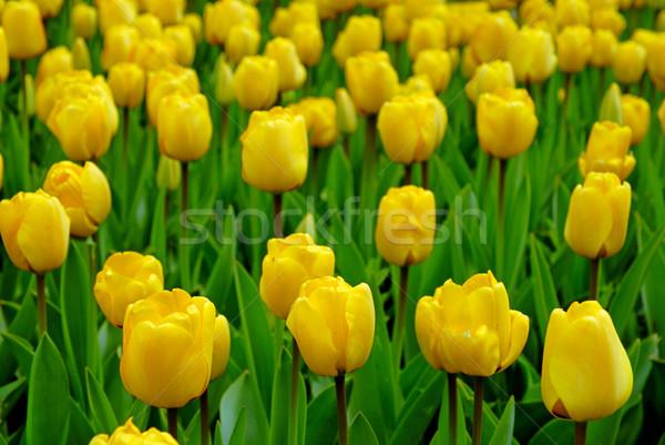 Amarelo tulipas campo páscoa flores paisagem Foto stock © mahout