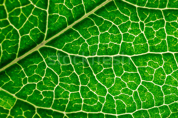 лист текстуры мнение вены фон Сток-фото © mahout