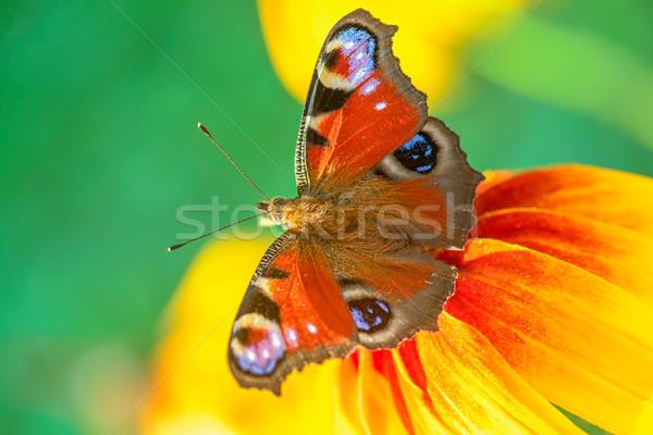 Mariposa flor primer plano vista fondo verano Foto stock © mahout