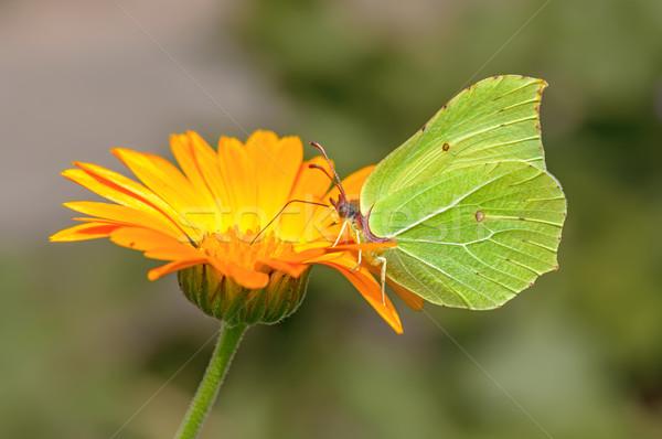 Pillangó virág közelkép kilátás háttér szépség Stock fotó © mahout