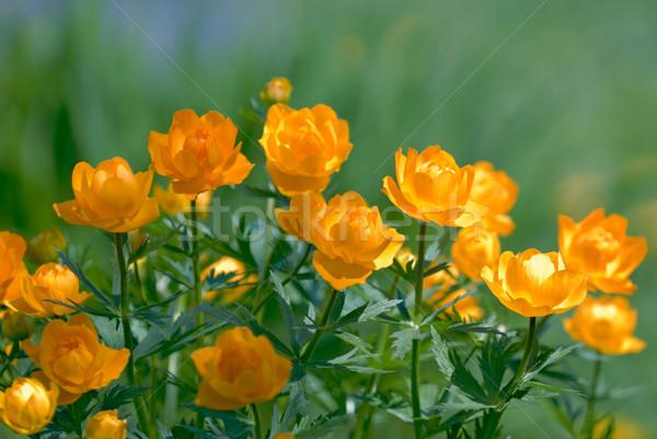 Orange flowers Trollius Asiaticus Stock photo © mahout