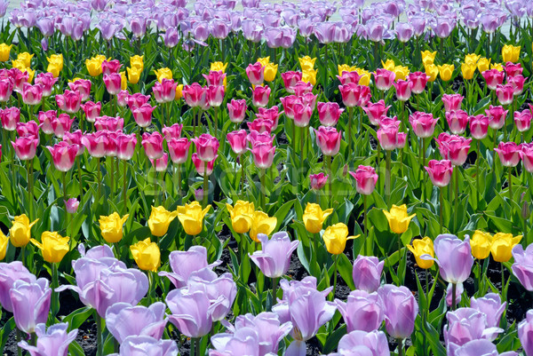 Multi-coloured field of tulips Stock photo © mahout