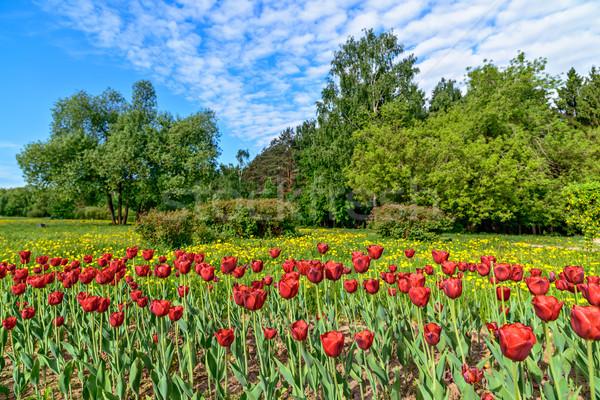 Tulipánok virágágy park piros fa tavasz Stock fotó © mahout