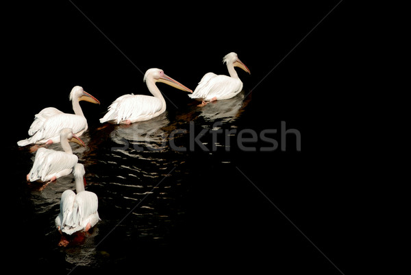 A group of pelicans with reflection on the water Stock photo © mahout