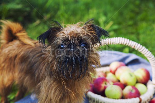 Bryuselsky Griffon Stock photo © maknt