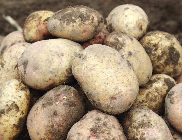 Pile of fresh potatoes Stock photo © Makse