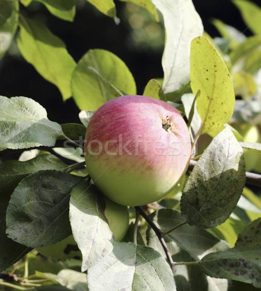 Olgun elma güzel elma ağacı şube gıda Stok fotoğraf © Makse