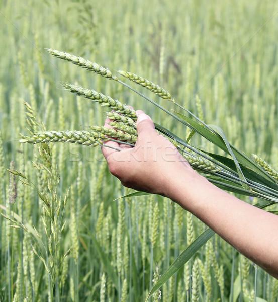 Buğday kulaklar kadın el Stok fotoğraf © Makse