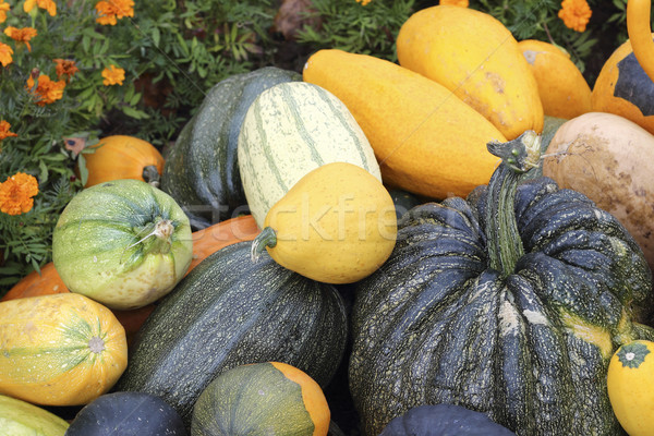 Varieties of pumpkins and squashes Stock photo © Makse