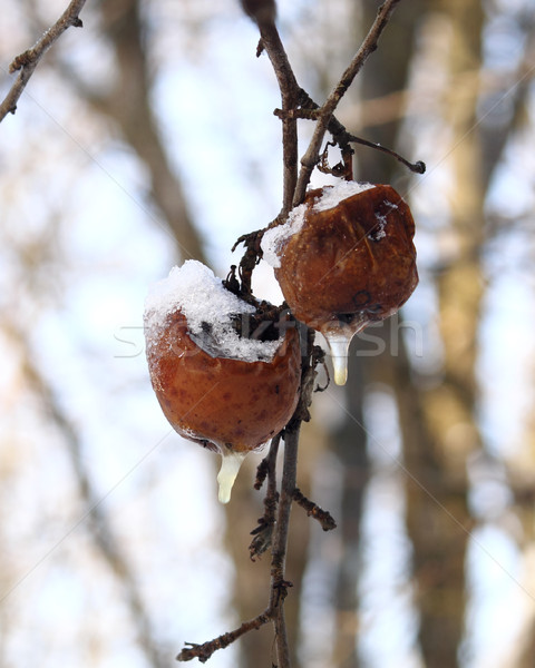 Winter apples Stock photo © Makse