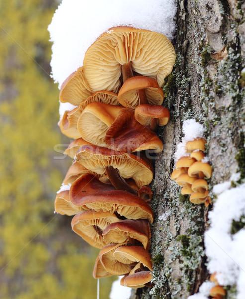 дерево грибы желтый зима лес Сток-фото © Makse