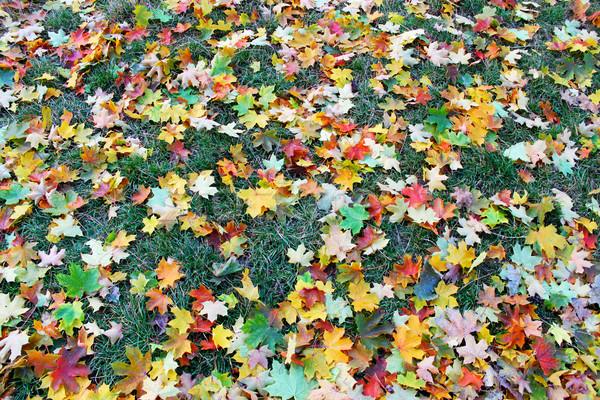 Veelkleurig esdoorn bladeren boom natuur schoonheid Stockfoto © mallivan