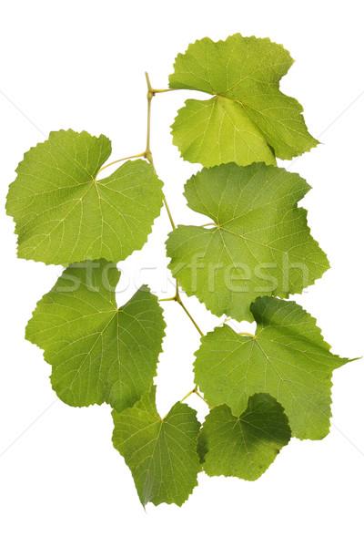 Groene bladeren druif tak geïsoleerd bloem zon Stockfoto © mallivan