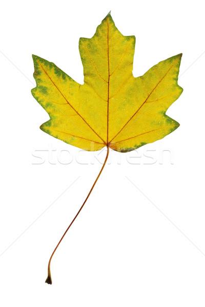 Maple Leaf ярко желтый белый лес природы Сток-фото © mallivan