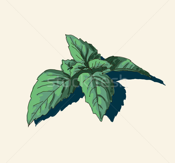 hand drawn vintage illustration of mint leaf Stock photo © Mamziolzi