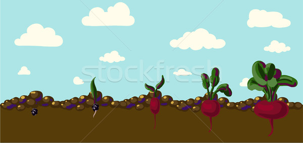 Set of realistic vegetables beets Stock photo © Mamziolzi