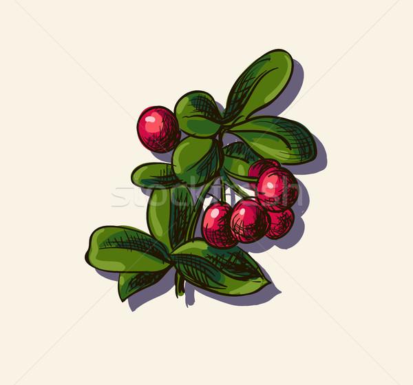 Vector illustration of cowberry Stock photo © Mamziolzi