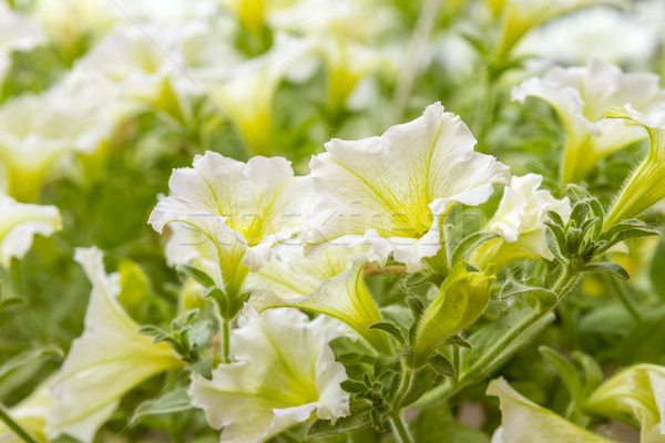 yellow petunia flowers in the garden in spring time Stock photo © manaemedia