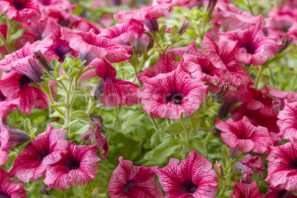 pink petunia flowers in the garden in spring time Stock photo © manaemedia